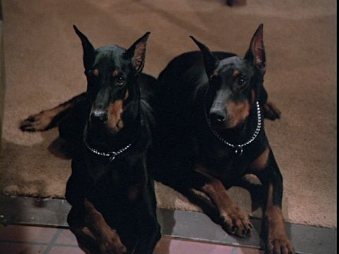 Magnum pi with doberman
